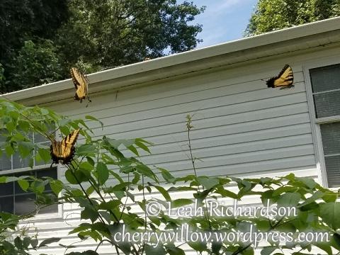 butterflies--1