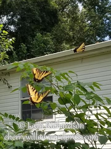butterflies--2